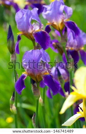 iris flower growing