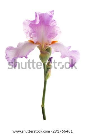 Iris flower. Isolated on white background - stock photo