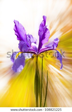 Iris flower on an abstract background - stock photo