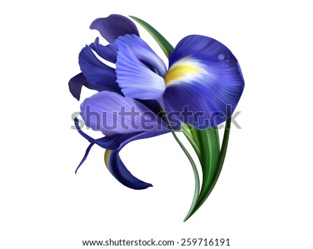 iris flower painted on white