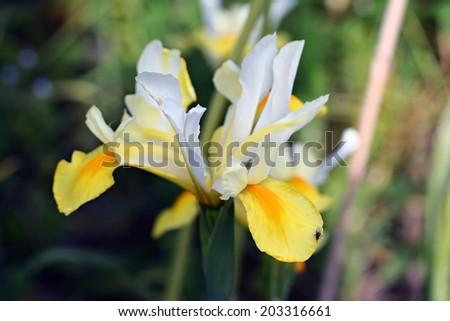 Iris hollandica, commonly known as the Dutch Iris - stock photo