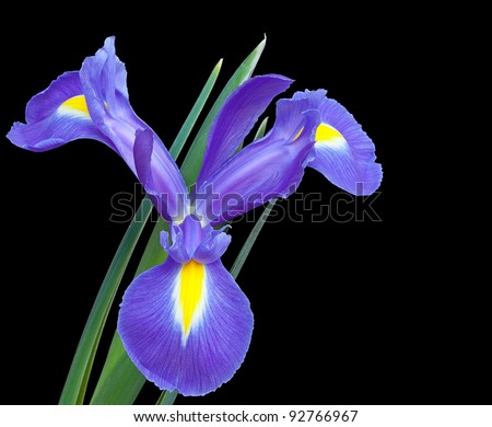 Iris Isolated on Black Background - stock photo