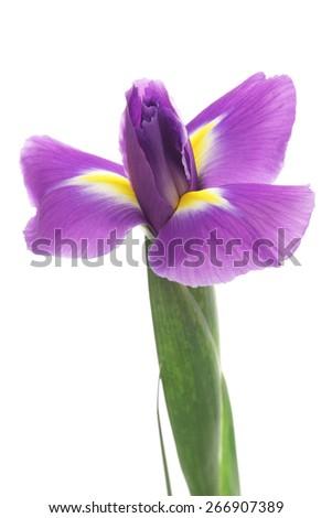 Iris isolated on white background  - stock photo