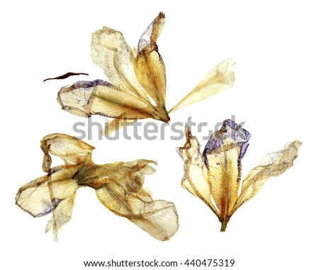 iris light yellow and blue dry perspective, delicate pressed flowers and petals isolated on white background scrapbook - stock photo