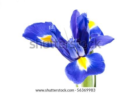 Iris on white background - stock photo