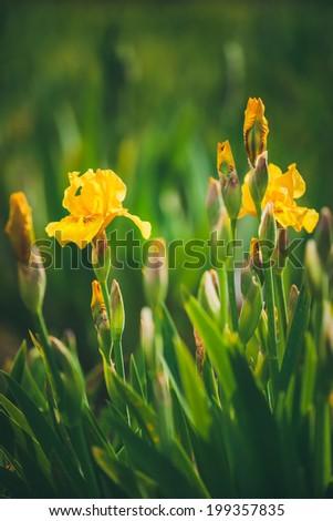 Iris pseudacorus also known as yellow flag iris, shallow DOF - stock photo