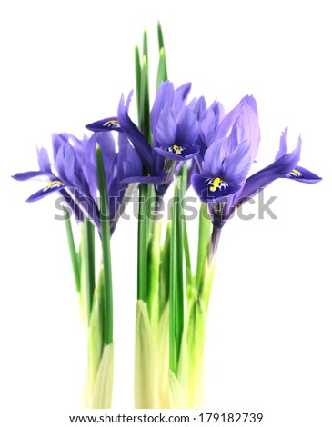 iris reticulata� isolated on a white background
