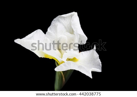 Irises on a black background. - stock photo
