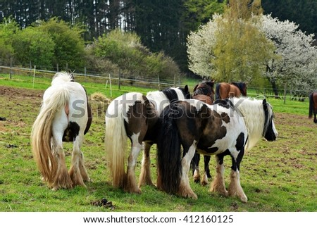 Irish cob - stock photo