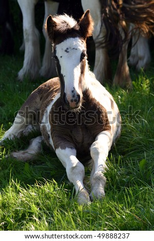 Irish Cob filly foal has a break - stock photo