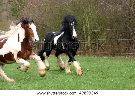 Irish cob galopping in the pasture - who is faster? - stock photo