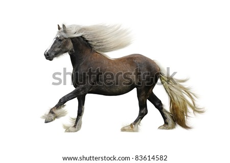 Irish cob horse galloping on a white background