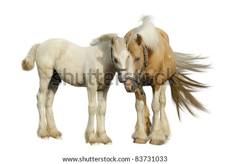 Irish cob mare and her foal in front of a white background - stock photo