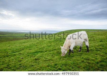 Irish cows grazing on the grass- image with copy space