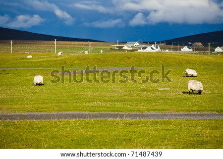 Irish fields: sheeps - stock photo