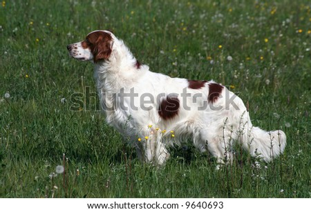 Irish red and white setter dog standing in the field - stock photo
