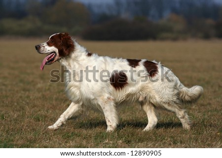 Irish red and white setter walking in the field - stock photo