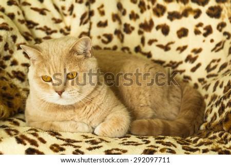 Irish Red cat resting on a leopard print rug  - stock photo