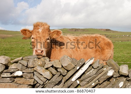 Irish red cow on meadow at the fence of stones. - stock photo