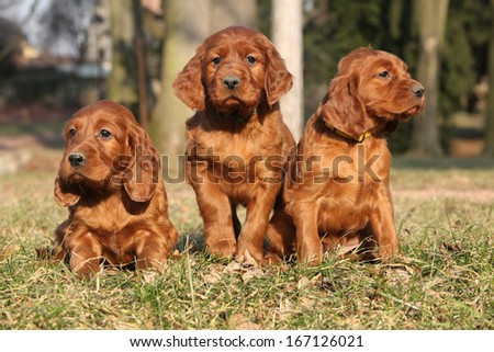 Irish Red Setter Puppies sitting together in nature - stock photo