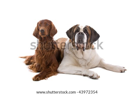 Irish Setter and Saint Bernard laying down together. Isolated against a white background - stock photo