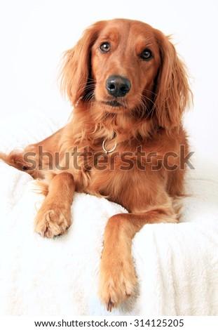 Irish Setter dog studio portrait - stock photo