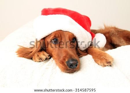 Irish setter dog wearing a Santa hat for Christmas - stock photo