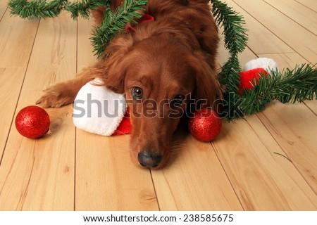 Irish Setter dog with Santa hat and Christmas ornaments.  - stock photo