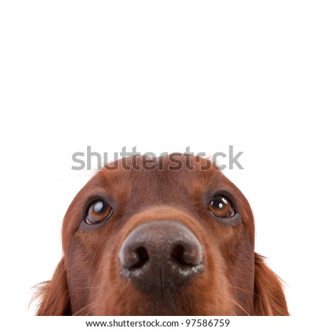 Irish Setter isolated on white - stock photo