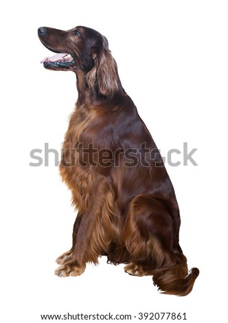 Irish Setter, isolated over white