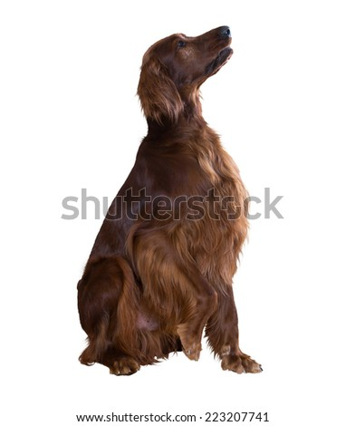 Irish Setter, isolated over white backgroung - stock photo