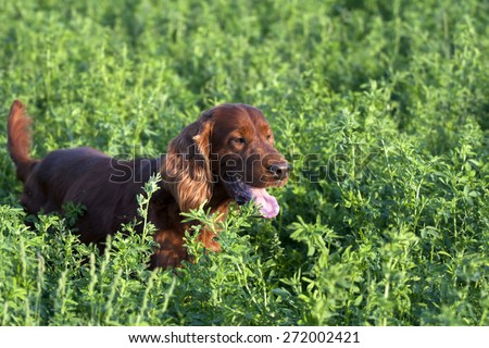 Irish Setter male hunting in the field - stock photo