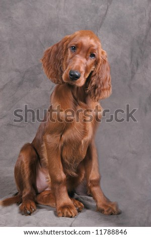 Irish Setter Puppy - stock photo