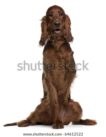 Irish Setter puppy, 5 months old, sitting in front of white background - stock photo