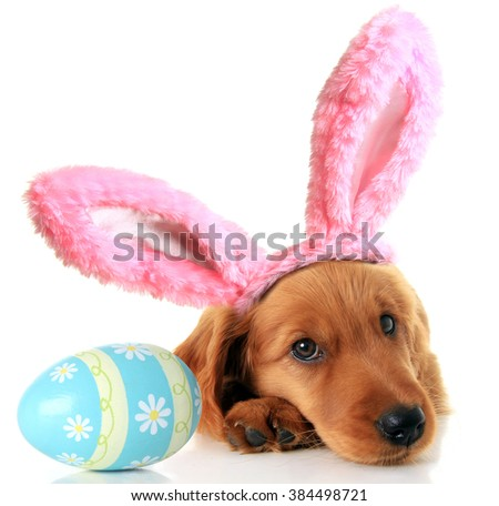 Irish Setter puppy wearing Easter bunny ears next to an Easter egg.  - stock photo