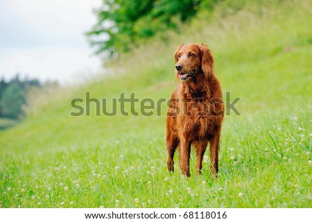 Irish Setter standing in the meadow - stock photo