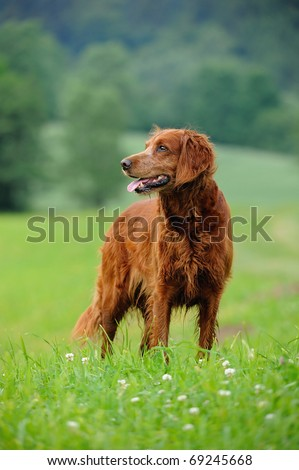 Irish Setter standing wet in the meadow - stock photo