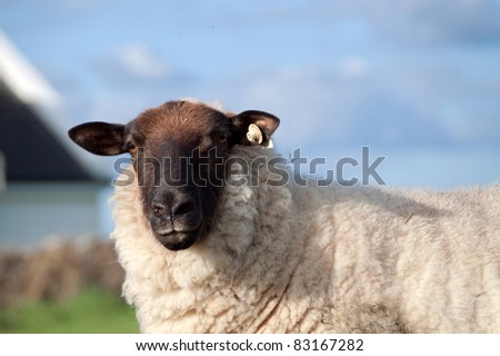 Irish sheep portrait - stock photo