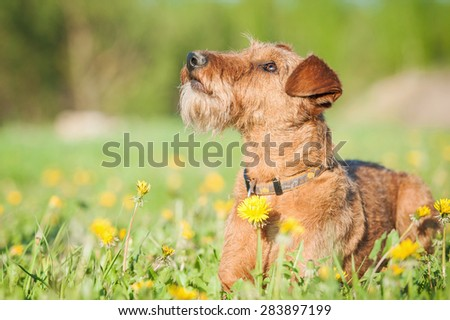 Irish terrier dog lying and looking up - stock photo