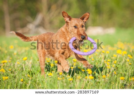 Irish terrier dog playing with a toy - stock photo