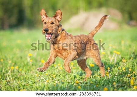 Irish terrier dog running - stock photo