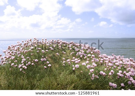 irish wildflowers on the cliffs edge in county Kerry Ireland - stock photo