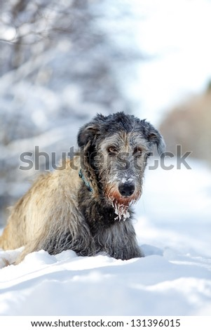 irish wolfhound dog at winter forest