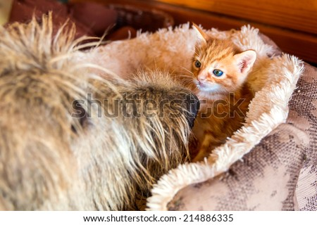 Irish Wolfhound investigating a small tiny orange kitten in a bed with blue eyes