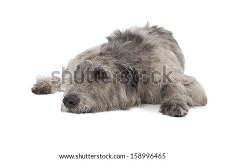 Irish Wolfhound on a white background in studio - stock photo