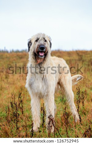 Irish Wolfhound on the autumn meadow - stock photo