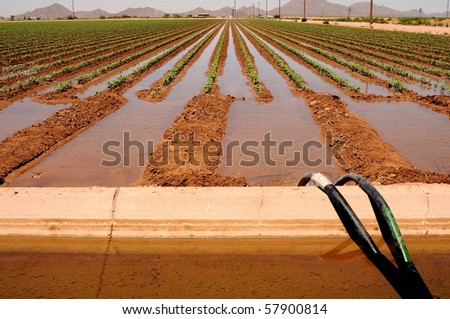 Irrigated cotton field in the valley of the sun Arizona - stock photo