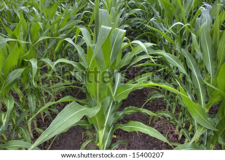 irrigated field of green corn growing in summer