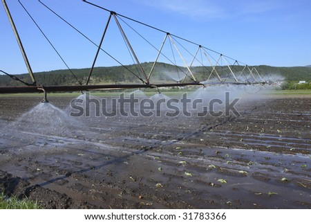 irrigating a cabbage field