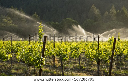 Irrigating Zinfandel grapes, Mendocino County, California - stock photo